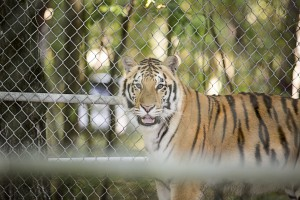 Jasmine is one of two Siberian tigers that arrived at their new home in Billings, Montana, last week. Dade City's Wild Things donated them to ZooMontana to bolster their tiger exhibit. (Courtesy of Dade City's Wild Things)