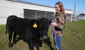 Stephanie Dahm, a junior at Land O' Lakes High School, works with Dixie, a 700-pound heifer at the school's barn. Dahm and Dixie will compete at the Florida State Fair and Pasco County Fair. (Michael Murillo/Staff Photo)