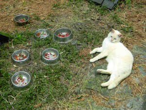 Forrest lounges next to feeding bowls at Cats Cradle, a sanctuary for senior cats in Lutz.