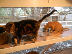 Prowler, left, and Garfield hang out in the transition room. Prowler is the newest cat at Cats Cradle