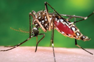 The Zika virus is spread through bites of the Aedes aegypti mosquito, which is the same mosquito that spreads the dengua and chikunguna viruses. (File Photo)