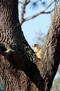 This fox squirrel is one of the kinds of animals that would have more options for getting around if Pasco County creates proposed wildlife corridors. (File Photo)