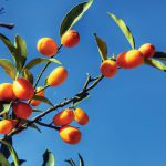 Kumquat Festival likely to attract thousands