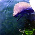 Close encounters with manatees on the rise