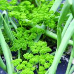 Adding flavor to your foods, with herbs you grow