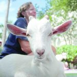 Goat yoga brings happy hour to American House