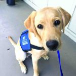 Guide dog in training